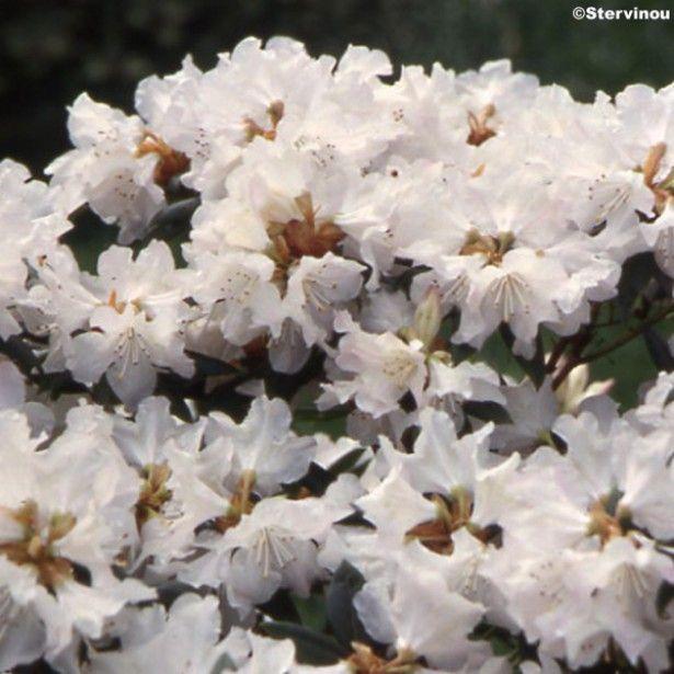 1000 id es sur le th me arbustes feuillage persistant sur pinterest arbustes feuilles for Arbuste persistant ombre le havre