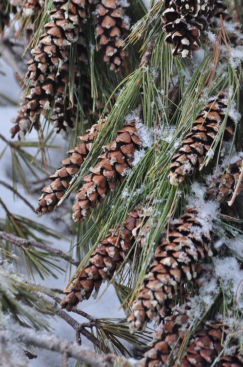 "  December   ""The pine stays green in winter . . . wisdom in hardship."" ~Norman Douglas"