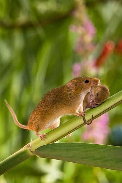 The secret life of the harvest mouse: cute pictures by Jean-Louis Klein and…