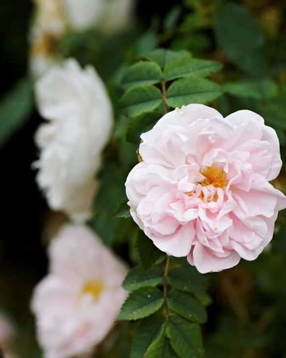 Pimpinellros, Rosa 'Stanwell Perpetual'