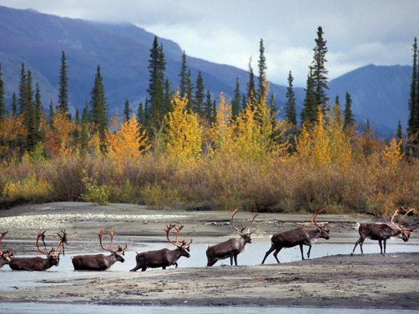 Caribou Tracks, Gates of the Arctic National Park and Arctic National Wildlife Refuge, Alaska