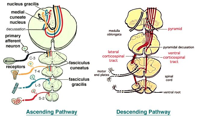 Lab 2 Spinal Pathways