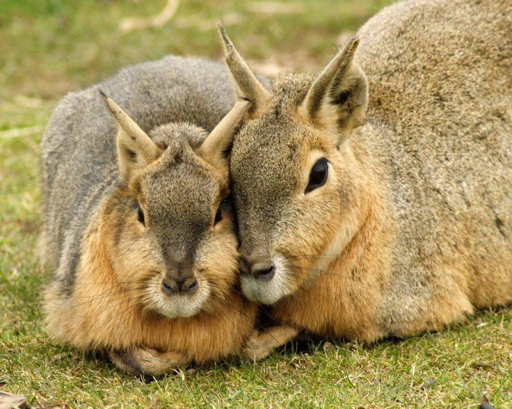 Patagonian Mara mother and baby ♥ The Patagonian mara, Dolichotis patagonum, is a relatively large rodent in the mara genus (Dolichotis). It is also known as the Patagonian cavy, Patagonian hare or dillaby. This herbivorous, somewhat rabbit-like animal is found in open and semi-open habitats in Argentina, including large parts of Patagonia.