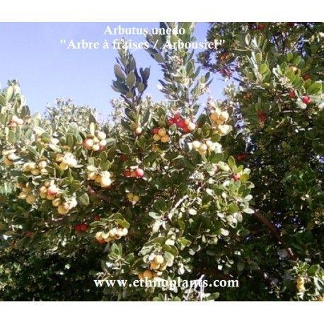 Arbutus unedo ARBOUSIER, ARBRE AUX FRAISES à faire pousser.