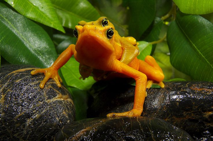 The Panamanian golden #frog is brightly colored to warn potential predators that it is very toxic and would be dangerous to eat.