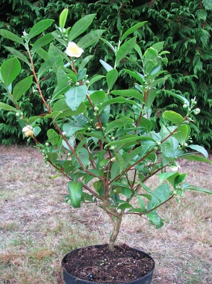 Amazing article-Camellia Sinensis plant care. Evergreen shrub below 2 m