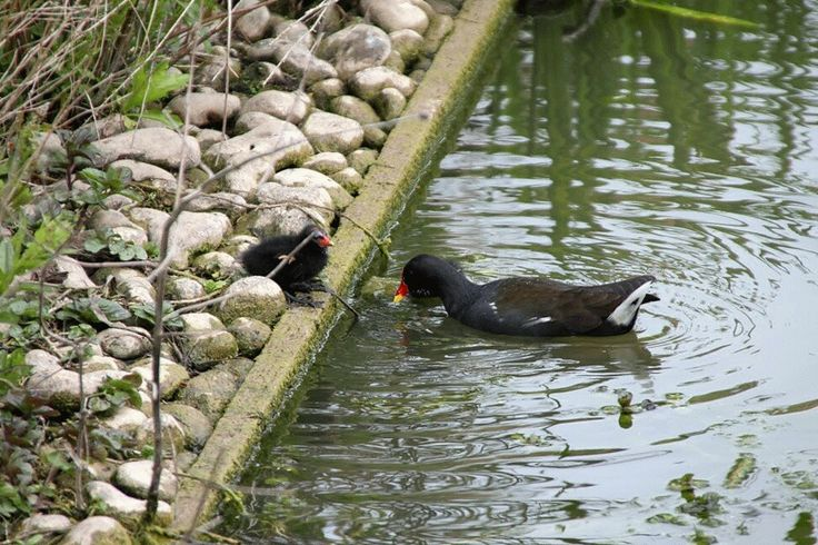Moorhen and her chick on an April weekend.