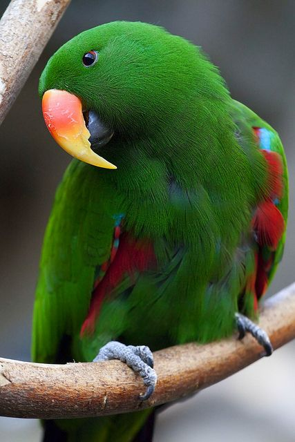 Male Eclectus Parrot  - Beautiful !