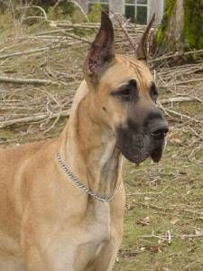 Great Dane Information, Pictures of Great Danes | Dogster