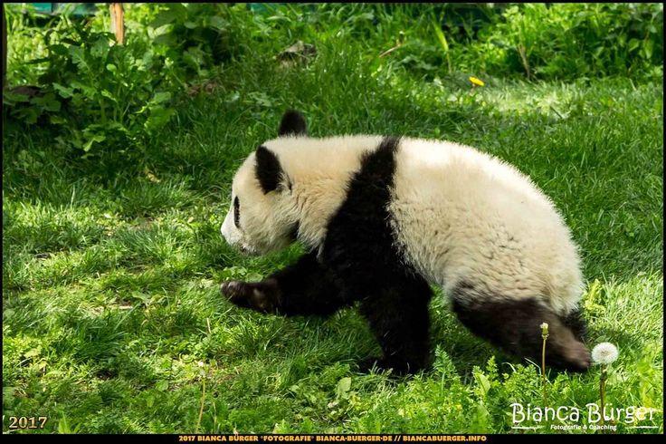 Tiergarten Schönbrunn - Panda-Jungtier - Wien-Spezial #Wien #Vienna #wonderlustvienna #vienna_austria #ViennaNow #Österreich #Austria #ig_austria #feelaustria #visitaustria #zoovienna #zoo #Tiergarten #schönbrunn #biancabuergerphotography #shootcamp #pickmotion #Reise #travel #animal #Tier #Panda #giantpanda #canon #EOS5DMarkIII #5Diii #cute #lovely