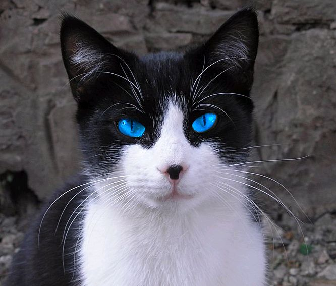 What amazingly blue eyes... and a cute black spot on his ...  White Cat With Dark Blue Eyes