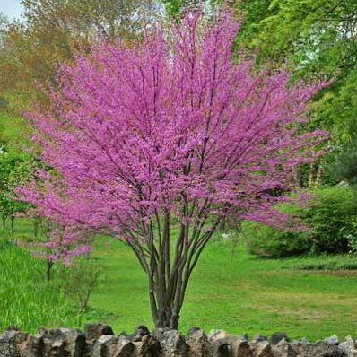 A Colorful Addition to any Garden - The Eastern Redbud is the perfect addition to any garden. Whether you are looking to add color to your home garden, or to add an accent piece along your patio, it is hard to go wrong with this tree.  The Eastern Redbud is one of the first trees to bloom in early spring, producing beautiful pink...