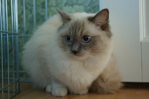 Jilda The Duchess of a ragdoll