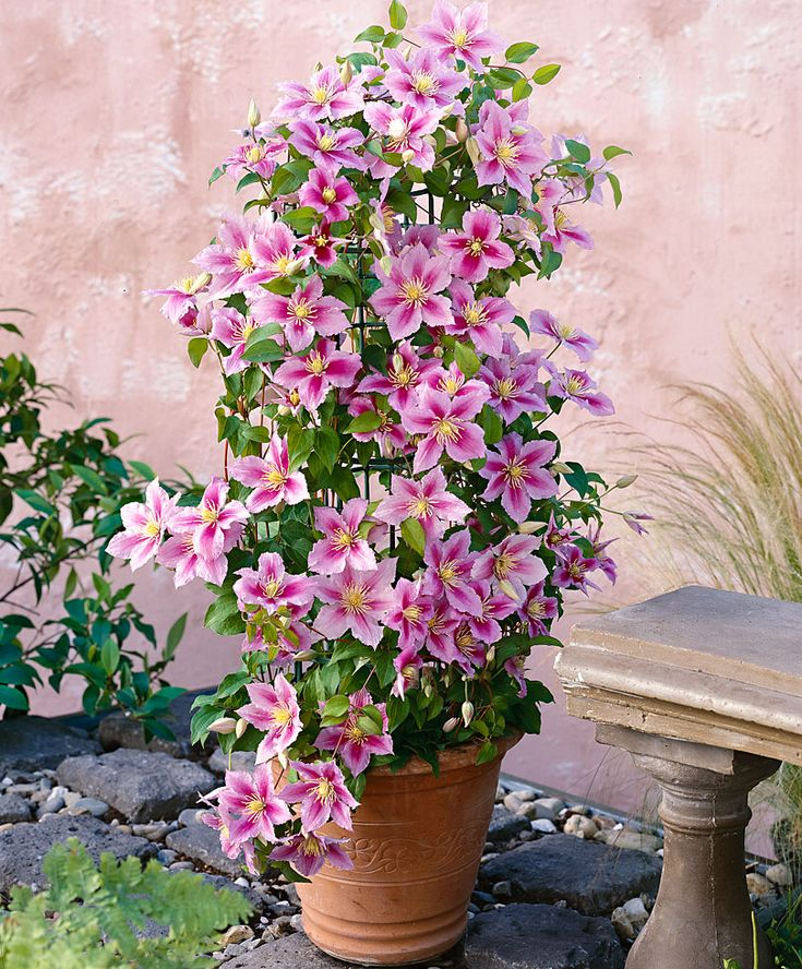 Clematis 'Piilu' is a clematis that produces two different kinds of flowers. In spring this variety has the most amazing double flowers, and in summer it adds to the profusion of flowers a second time but with single flowers. Such a picture in your garden! Also suitable for in a spacious patio planter with a climbing support. The Clematis 'Piilu' really should be in your garden! Height supplied approximately 25 cm.