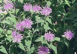 Image result for wild bergamot