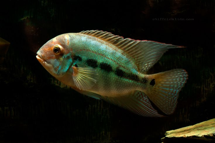 1593 best images about cichlids on pinterest 200 gallon for Common freshwater aquarium fish