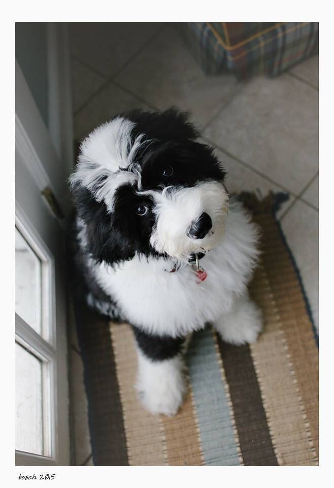 Sheepadoodle Puppies The Non Shedding Non Drooling Hybrid Old English Sheepdog Standard Poodle Mix Feathers And In 2020 Sheepadoodle Puppy Cute Dogs Cute Animals