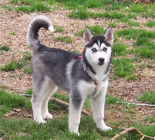 1 year old siberian husky aj  abby jr  by tootie meyers