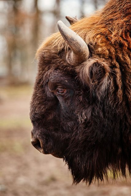 I adore bison, some of the neatest animals I have ever worked with.