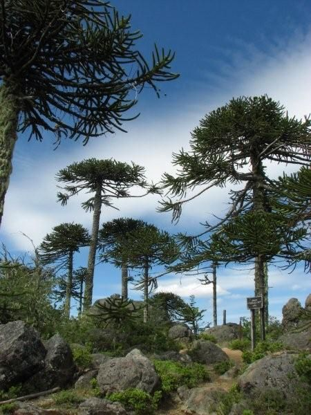 Araucaria araucana - they lose their lower branches as they get older. Araucaria araucana tolerating temperatures down to about −20 °C (−4 °F). It is far and away the hardiest member of its genus, and can grow well in western Europe (north to the Faroe Islands and Smøla in western Norway), the west coast of North America (north to the islands of Haida Gwaii in Canada) and locally on the east coast as well including Long Island, and in New Zealand and southeastern Australia.