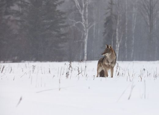 """""""Some people talk to animals. Not many listen, though. That's the problem."""" ―A.A. Milne (Coyote)"""