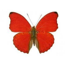Vlinders :: Cymothoe Sangaris