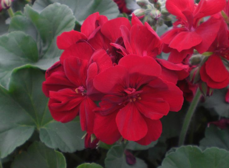 20 best 2013 new flower intros images on pinterest hanging baskets sweet dreams and verbena - Care geraniums flourishing balcony porch ...