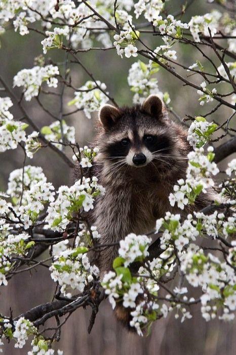 Fleur parmi les Fleurs... Adorable Raton Laveur