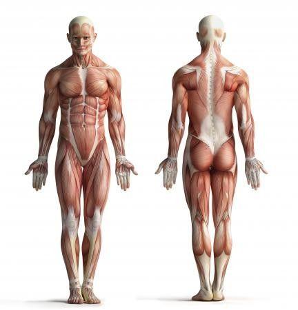 Después de la buena acogida del post de ayer sobre las diez curiosidades de los músculos que quizás no conocíais, hoy vamos con su primo-herman...