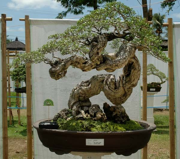 Bonsai exhibition in Tabanan, Bali (This tree is begging for hanging baskets .....  just sayin ...... )