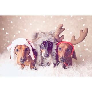 The cutest Christmas crew ever. | Community Post: 20 Adorable Dachshunds Who Are Totally Ready For Christmas