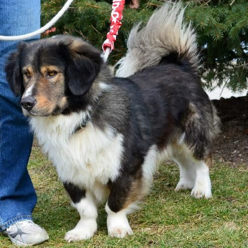 Where To Adopt Bernese Mountain Dog