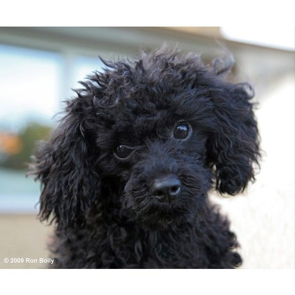 Toy Poodle by pincollector1 : Weather Underground ❤ liked on Polyvore