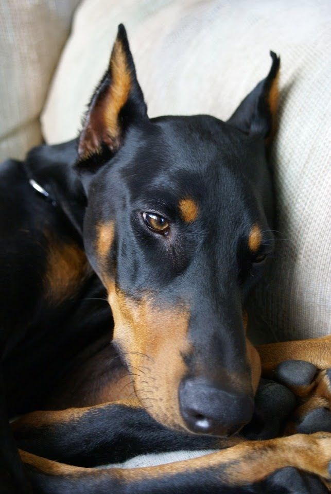 """Click visit site and Check out Best """"Dobermann"""" Shirts. This website is excellent. Tip: You can search """"your name"""" or """"your favorite shirts"""" at search bar on the top."""