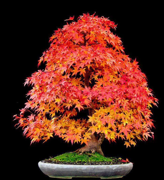 increibles-bonsais-18 Arce japonés
