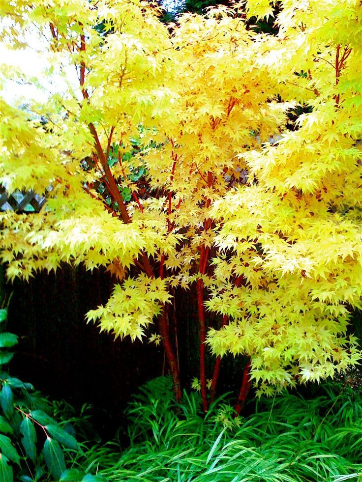 small landscape trees   ... in your garden with coral bark maple   Garden Design for Living