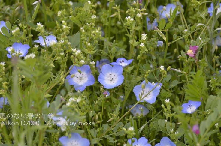 青い花、ネモフィラ