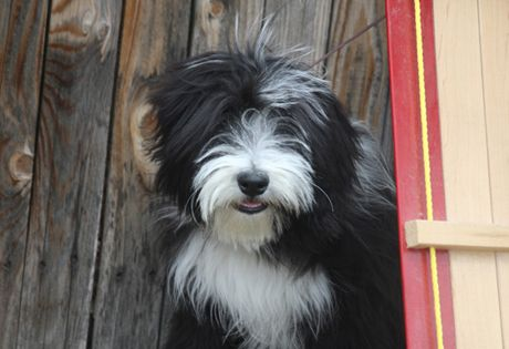 #Bearded #Collie: Active, outgoing and affectionate, the #Beardie makes a wonderful family pet. Like most long-haired breeds, Bearded Collies require a commitment to grooming. They need a few minutes of brushing or combing everyday. This breed also needs exercise, but will make a wonderful addition to many homes.