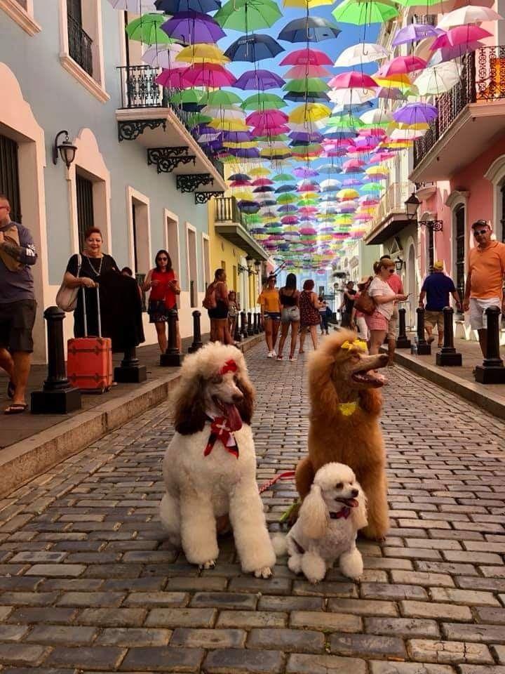 Puerto Rico Poodles Poodle Dog Poodle Standard Poodle