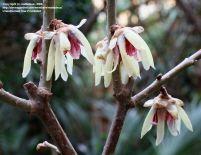 Winter shrubs and plants for your winter garden Wintersweet (Chimonanthus praecox)