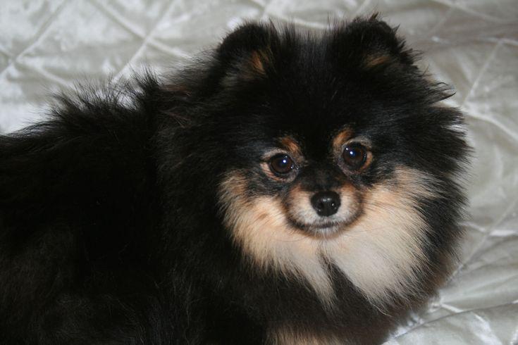 pomeranian | black and tan pomeranian | Bella Klein´s Pomeranian