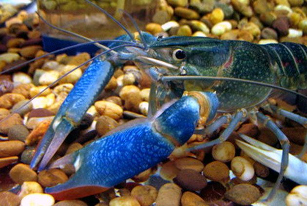 Cherax Quardricaritanius, lobster air tawar, budidaya lobster