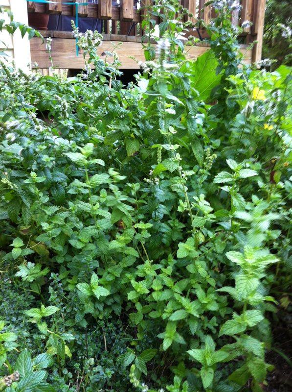 images  growing herbs   garden