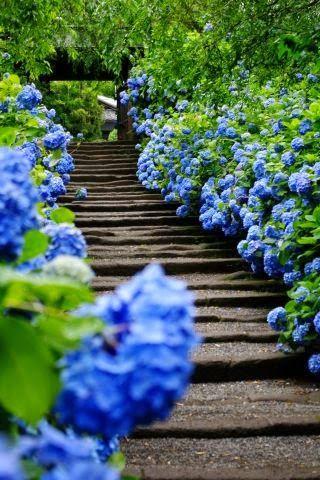 Approach To Meigetsu In Temple, Kamakura, Japan.(like The Idea Of A  Hydrangea Lined Path)