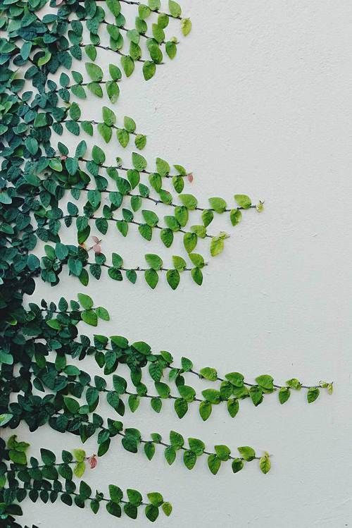 ivy crawling