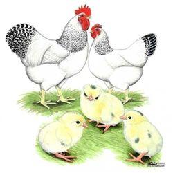 Delaware Chickens, Delaware Chicks for Sale, Delaware Chicken Image Picture