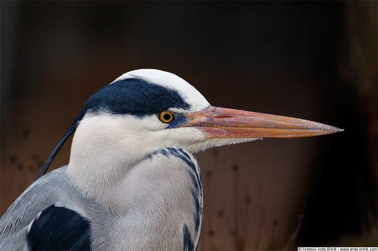 Graureiher | Grey Heron | Ardea cinerea