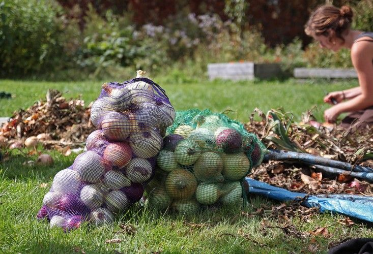 Sterling College Craftsbury Vermont, onions, by Justine Hand for Gardenista