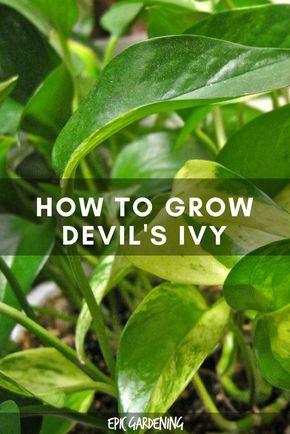 Golden Pothos - Devil's Ivy