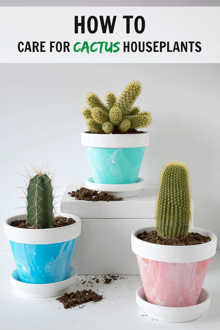 Cactus houseplants are becoming increasingly popular both for their unique appearance and easy care. If you need a quick primer on how to care for cactus houseplants, here are some great tips for beginners.